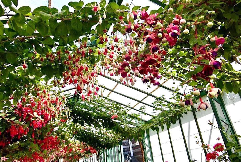 Geranium Greenhouse Fuschia @ Koninklijke Serres van Laken