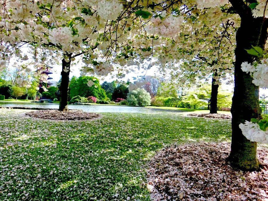 Laeken Park Cherry Blossom Tree opposite Queen Elisabeth Studio @ Koninklijke Serres van Laken